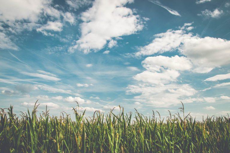 Stan upraw twoich zbóż ozimych, pozostawia wiele do życzenia?